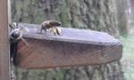 Soeben ist eine Biene gelandet, an den Hinterbeinen transportiert die Biene die gesammelten Pollen.