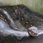 die größte Python der Philippinen
