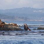 stinkende Seelöwen