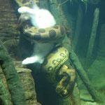 Schlange frisst Kaninchen im Aquarium