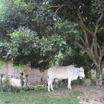 jedem seine Kuh