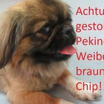 Pekinese *FINCHEN* mit ihren 4 Welpen am 15.09.2013 gegen 13:00 Uhr in 16321 Bernau gestohlen