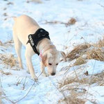 PINA (weiblich; Labrador Retriever) seit dem 26.02.2013 in 13591 Berlin Spandau-Staaken vermisst