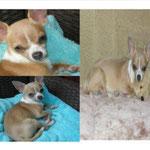 MIENCHEN (Chihuahua-Hündin) seit 2.3.13 in Zehdenick (OHV - Ruppiner Land) vermisst!!!