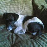 BIENE (Jack-Russell-Terrier; weiblich)gestohlen am 2.3.12 aus dem Wohnwagen in Bohnsdorf / Berlin-Treptow-Köpenick