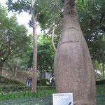 Queensland Bottle Tree