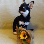 Чихуахуа щенок фото
