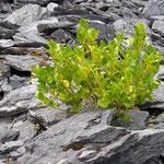 Stones (Garinish Island, Co. Cork)
