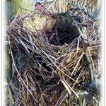 Altes Nest der Singdrossel - Reinheimer Teich © Jennie Bödeker