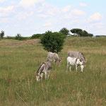 Esel als Naturschützer - Griesheimer Düne © Ben Weißmantel