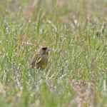 Grünfink im Gras auf Futtersuche