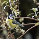 Emsige Blaumeise auf der Suche nach Insekten - Garten auf der Rosenhöhe © Anke Steffens