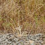 Beobachtung eines Jungvogels aus größerer Entfernung