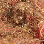 Skelett eines Eichhörnchens im Nistmaterial