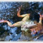 Froschleiche neben Froschlaich - Teich am Herrgottsberg © Jennie Bödeker