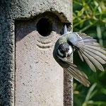 Kohlmeise fliegt aus - Garten in der Heimstättensiedlung © Jürgen Landshoeft