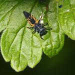 Larve des Marienkäfers ist ein nützlicher Blattlausvertilger