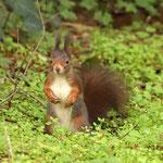 Eichhörnchen fixiert Fotografen - Waldfriedhof Darmstadt © Hans Günter Abt