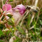 Späte Biene an später Blüte des Indischen Springkrauts - Reinheimer Teich © Jennie Bödeker