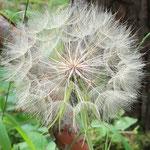 Flugfertige Samen des Wiesen-Bocksbarts - Wald bei Pfungstadt © Ulrike Borchard