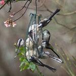 Schwanzmeisen beim Gesellschaftsessen - Garten auf der Rosenhöhe © Anke Steffens