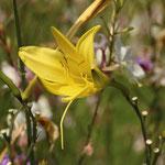 Lilie im Blumenbeet