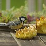 Naturkost für die Kohlmeise - Garten in Messel © Hans Günter Abt