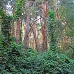 Grün unterwucherter Kiefernwald