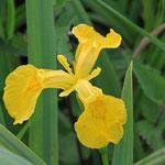 Gelbe Schwertlilie