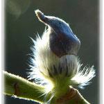 """Weidenkätzchen mit """"Mütze"""" - Botanischer Garten © Jennie Bödeker"""