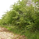 Grenze überwachsende Kirschbäume