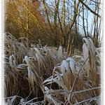 Reif auf Seggen - Reinheimer Teich © Jennie Bödeker