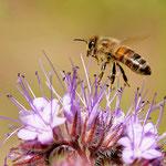 Biene besucht Bienenfreund - Garten der Heimstättensiedlung © Jürgen Landshoeft
