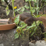 Wenn schon kein Vogel, dann wenigstens Wasser für das Eichhörnchen - Garten an der Rosenhöhe © Anke Steffens