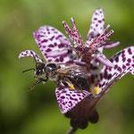 Biene beim Ausstieg aus der Krötenlilie - Botanischer Garten © Anke Steffens