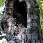 Waldkauz in seiner Baumhöhle