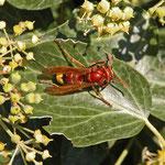 Hornissen sind als Insektenjäger Teil des Naturkreislaufs