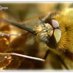 Bienenwollschweber - Wiese im Odenwald © Jennie Bödeker