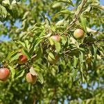 Reichlicher Behang mit süßen Äpfeln