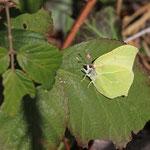 Erste gelbe Flugobjekte: Zitronenfalter