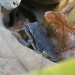 Laubfrosch in ungewöhnlicher Färbung - östlicher Odenwald © Meike Siebert