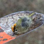 Totfund von Luca: Wintergoldhähnchen