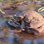 Kräftiges Erdkrötenpaar - Steinbrücker Teich © Ulrike Borchard