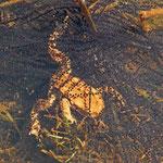 Erdkröte zwischen Laichschnüren - Steinbrücker Teich © Hans Günter Abt