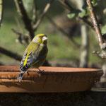 Grünfink in Frühlingsfarben - Garten auf der Rosenhöhe © Anke Steffens