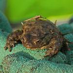 Frühe Erdkröte in Alarmstimmung - Grube Prinz von Hessen © Hans Günter Abt