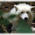 Hechelnder Polarwolf - Wildpark Klein-Auheim © Jennie Bödeker