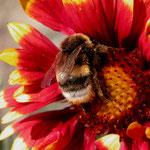 Erdhummel nimmt viel Pollen mit sich