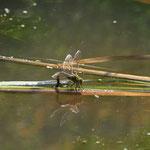 Libellen kommen nur bei Teichen in der Nähe