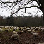 Landschaftspflege durch eine Schafherde - Ostwald nahe der Scheftheimer Eiche © Ulrike Borchard